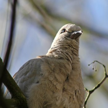 170413 Collared dove (2)