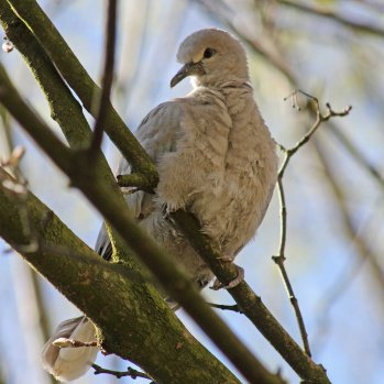 170413 Collared dove (3)
