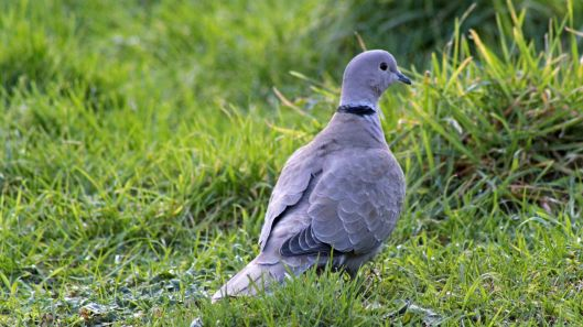 170413 Collared dove (4)