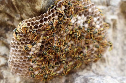 170419 Paper wasps in Morocco (1)