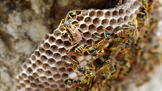 170419 Paper wasps in Morocco (2)