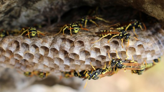 170419 Paper wasps in Morocco (3)