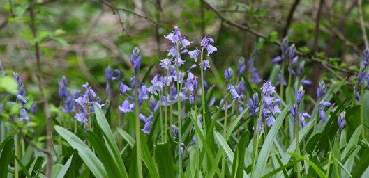 170421 bluebells (1)