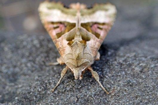 170425 Phlogophora meticulosa Angle shades moth (1)