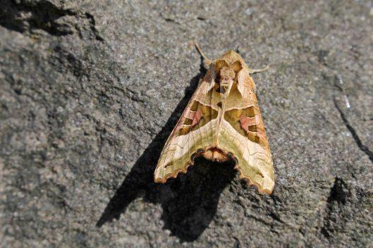 170425 Phlogophora meticulosa Angle shades moth (2)