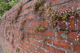 170427 Ivy-leaved toadflax (2)