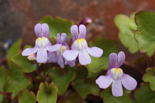 170427 Ivy-leaved toadflax (3)