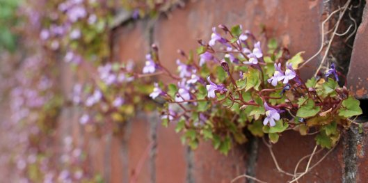 170427 Ivy-leaved toadflax (4)