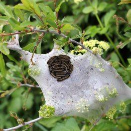 170429 Lackey moth Malacosoma neustria caterpillars (1)