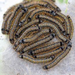 170429 Lackey moth Malacosoma neustria caterpillars (2)