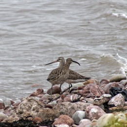 170430 Whimbrel and bar-tailed godwit (1)