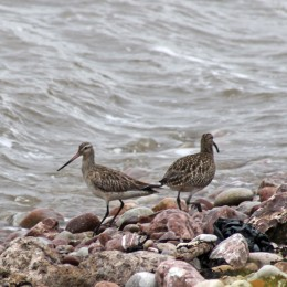 170430 Whimbrel and bar-tailed godwit (2)