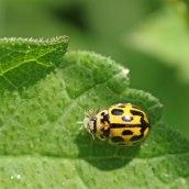 170501 ladybird 14-spot