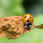 170501 ladybird 7-spot (2)