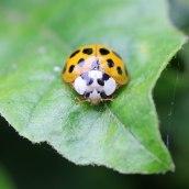 170501 ladybird Harlequin (1)