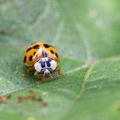 170501 ladybird Harlequin (2)