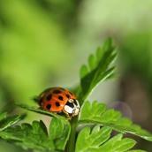 170501 ladybird Harlequin (3)