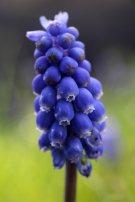 174014 grape hyacinth (2)