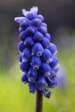 174014 grape hyacinth (2)