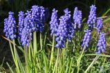174014 grape hyacinth (3)