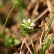 170506 Arenaria serpyllifolia Thyme-leaved sandwort