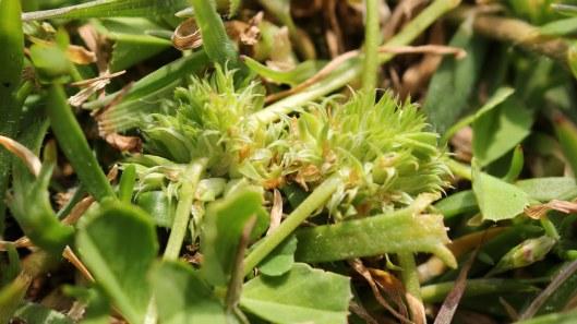 170507 Trifolium suffocatum Suffocated clover (1)