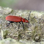 170509 (2) Pyrochroa serraticornis Red-headed Cardinal beetle