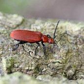 170509 (2) Pyrochroa serraticornis Red-headed Cardinal beetle