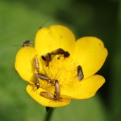 170509 (5) Micropterix calthella moths