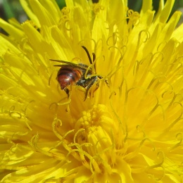 170509 Nomada sp Cuckoo bees (2)