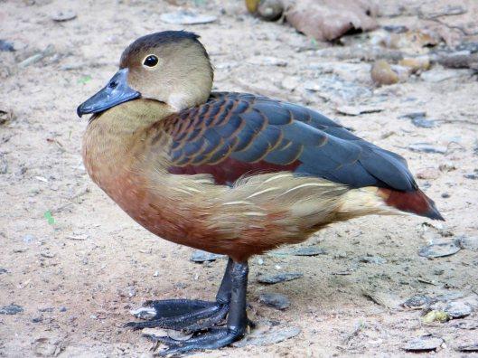 170510 Lesser whistling duck