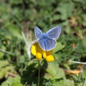 170513 (2) Common blue