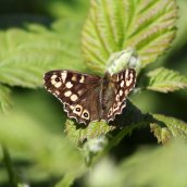 170513 (4) Speckled wood