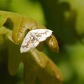 170513 (6) Mocha moth