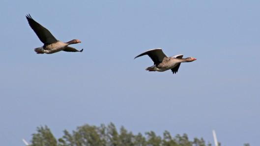 170520 Greylag geese