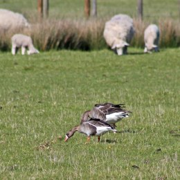 170520 White-fronted & Greylag geese (1)
