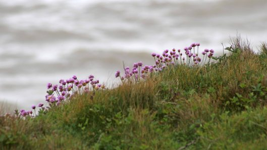 170521 11 Seaford Head Thrift