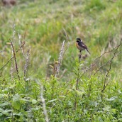 170521 3 Seaford Head Stonechat