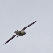 170521 4 Seaford Head Fulmar