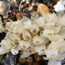 170522 Cuckmere Haven Whelk egg cases