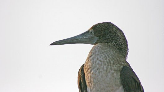 170524 Blue-footed booby Peru (1)