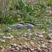 170524 Rye Harbour fauna (1)