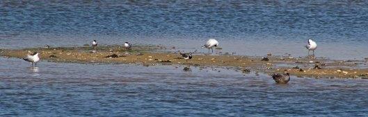 170524 Rye Harbour fauna (10)