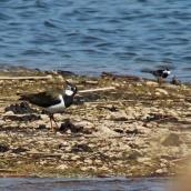 170524 Rye Harbour fauna (7)
