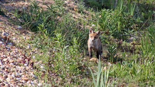 170527 Red fox cub (1)