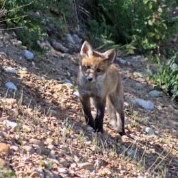 170527 Red fox cub (2)