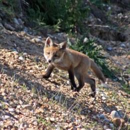 170527 Red fox cub (3)