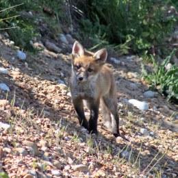 170527 Red fox cub (4)