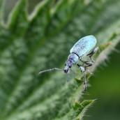 170531 2 Nettle Weevil