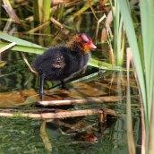 160627 Coot chicks (1)
